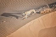 A Sloughi (Arabian greyhound) runs in the desert of Morocco.