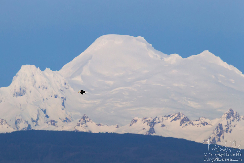 A bald eagle (Haliaeetus leucocephalus) soars over the Skagit Valley of Washington state in search of food with Mount Baker, a 10,781 foot (3,286 meter) looming in the background.