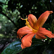 The Mandrinette, Hibiscus liliiflorus, is an endangered species of hibiscus that is endemic to the island of Rodrigues.