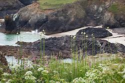Wild leeks, Babington's Leek on the cliffs near the Lizard, Cornwall. Allium ampeloprasum var babingtonii