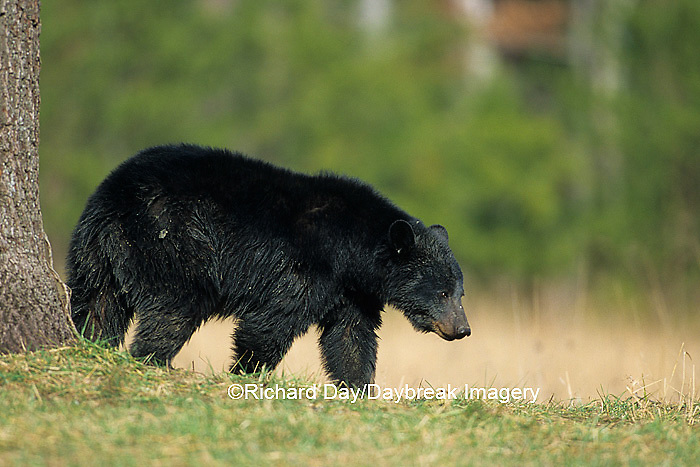 01872-00520  Black Bear (Ursus americanus) female Great Smoky Mountains NP  TN
