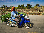 24 JANUARY 2017 - PHRA THAEN, KANCHANABURI, THAILAND: A farmworker rides a motorcycle past a sugarcane field in Phra Thaen. Thai government  officials recently announced that they plan to float sugar prices later this year or early in 2018. Wholesale prices are currently set by the Cane and Sugar Board, a part of the Industry Ministry, while the Commerce Ministry sets the retail price. Thailand has fixed retail prices of sugar to guarantee a profit for farmers. Thailand is the world's leading exporter of sugar, after Brazil. Thai sugar production is expected to drop by more than three percent because of the lingering drought that crippled agriculture through 2015 and 2016.   PHOTO BY JACK KURTZ