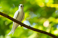 White Tern Perched in Seychelles
