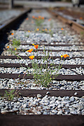 California Poppies Growing in the Railroad Tracks