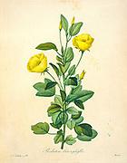 19th-century hand painted Engraving illustration of a Redutea heterophylla flower, by Pierre-Joseph Redoute. Published in Choix Des Plus Belles Fleurs, Paris (1827). by Redouté, Pierre Joseph, 1759-1840.; Chapuis, Jean Baptiste.; Ernest Panckoucke.; Langois, Dr.; Bessin, R.; Victor, fl. ca. 1820-1850.