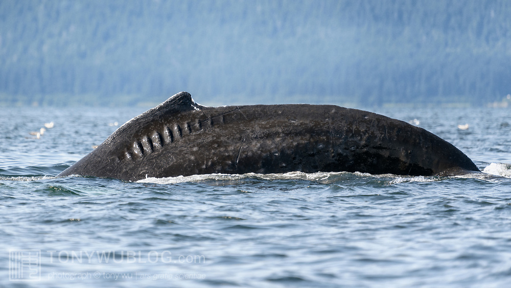 This is one of several mature humpback whales engaged in bubble net feeding. The injury marks on its left dorsal surface look like they may be the result of a run-in with the propellor of a boat, perhaps a small vessel. I photographed this same whale in 2016 (see humpback-whale-ship-propellor-injury-alaska-201607-0621.tif) , also participating in a bubble-net feeding group at the time. In 2016, the group with this whale was working the coast between Point Retreat and Funter Bay. In 2018, this whale was with a group feeding in the nearby Icy Strait area, primarily around Pleasant Island and Gustavus.