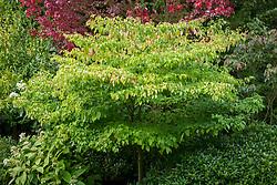 Cornus alternifolia aurea but check this as not in Plant finder