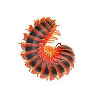 Myriapods - centipedes, millipedes