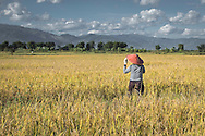 A burmese farmer in a rice field near Kyaingtong, Myanmar, Southeast Asia