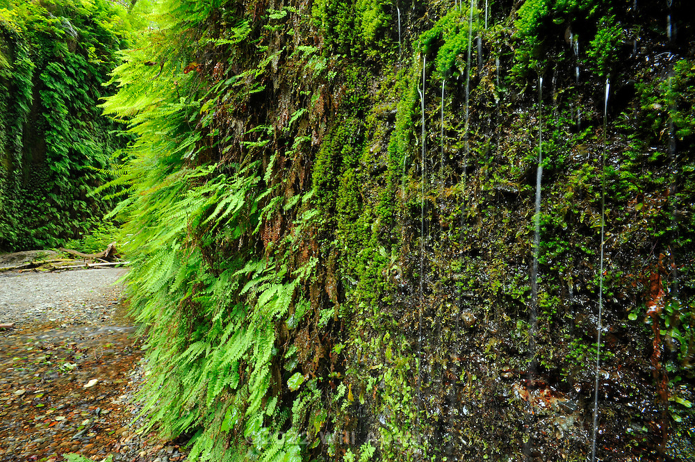 Fern Canyon area in the Prairie Creek Redwoods State Park in California