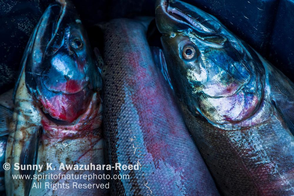 Close up of Silver Salmon from Kuskokwim River, McGrath, Interior Alaska, Autumn.