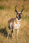 Pronghorn during the fall rut in Wyoming
