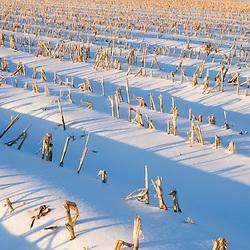 Early morning on a farm in Hadley, Massachusetts.  Winter.  Corn stubble.