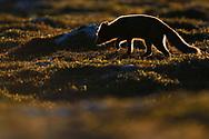 Young Arctic fox, Vulpes/Alopex lagopus, Dovrefjell National Park, Norway