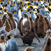 A giant petrel attacks a king penguin chick in the middle of in a massive breeding colony at Gold Harbour on South Georgia Island.