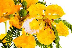 Yellow Poinciana#24