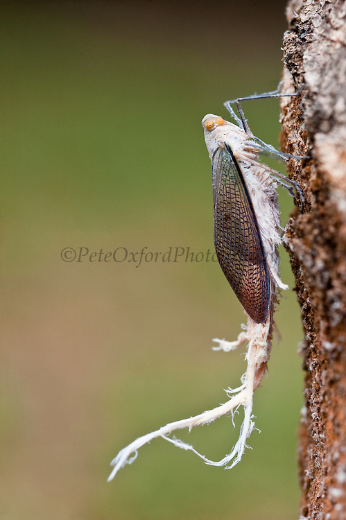 Reticulate Planthopper<br /> (Pterodictya reticularis)<br /> Primary Rain Forest<br /> Iwokrama Reserve<br /> GUYANA. South America