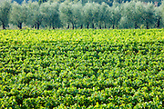 Vines and olive grove of traditional olive trees near Montalcino in Val D'Orcia, Tuscany, Italy