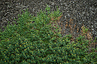 Greece, Meteora, Ivy (Hedera helix) on cliff