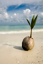 coconut at beach, Koh Lipe, Thailand