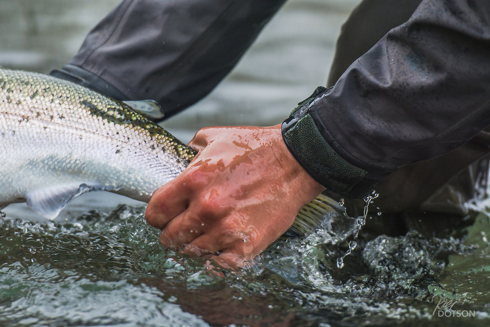 The adipose fin on top identifies this steelhead as a wild fish ready to continue his journey.