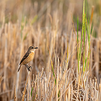 The Siberian stonechat or Asian stonechat (Saxicola maurus) is a recently validated species of the Old World flycatcher family (Muscicapidae). Like the other thrush-like flycatchers, it was often placed in the Turdidae in the past. It breeds in the East Palearctic including in easternmost Europe and winters in the Old World tropics.