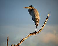 Great Blue Heron. Early morning at Biolab Road in Merritt Island National Wildlife Refuge. Image taken with a Nikon D700 camera and 18-300mm VR lens (ISO 200, 300 mm, f/9, 1/320 sec).
