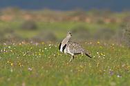 Houbara Bustard - Chlamydoyis undulata fuertaventutae - male
