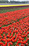 Bollenvelden bij Noordwijk, Zuid Holland - Tulips in the Netherlands