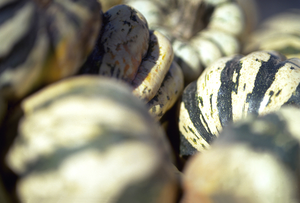 Close up selective focus photograph of a group of Dumpling Squash in the sunlight