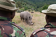 A white rhinoceros, Ceratotherium simum. In Masai Mara Rhino santuary they live 24 hours a day escorted by anti poaching units.