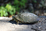 A turtle seen at the weir in Round Rock, Texas