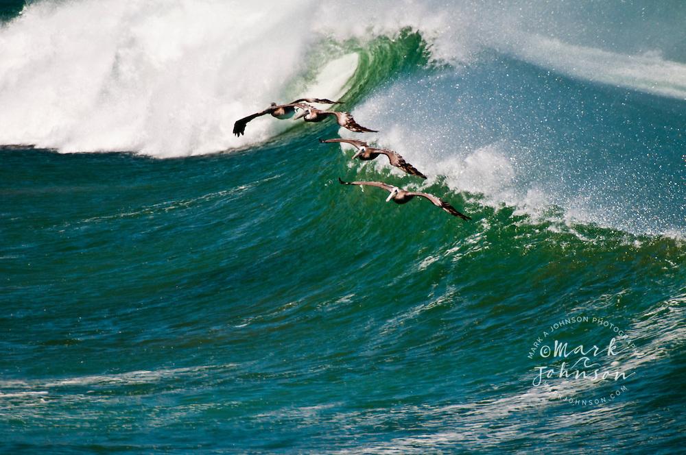 Pacific Pelicans flying over waves at Punto San Carlos, Baja California, Mexico