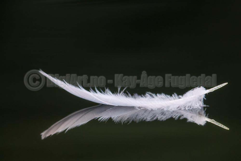 Feather mirroring in the water | Fjær som spegler seg i vannet.