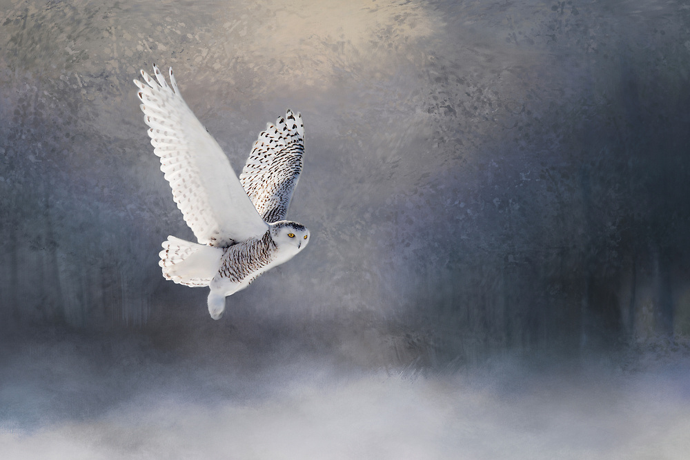"""Snowy Owl gliding through a dreamy forest.<br /> <br /> This image is a composite of my original photography plus background photo """"textures"""" and color enhancements. <br /> <br /> Available sizes:<br /> 18"""" x 12"""" print <br /> <br /> <br /> See Pricing page for more information. Please contact me for custom sizes and print options including canvas wraps, metal prints, assorted paper options, etc. <br /> <br /> I enjoy working with buyers to help them with all their home and commercial wall art needs."""