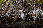 Great Blue Heron, Ardea herodias, among mangroves in the Everglades, Florida, USA