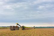 Cutting and harvesting sugar cane in the Fall at plantation along the Mississippi at Baldwin, Louisiana, USA