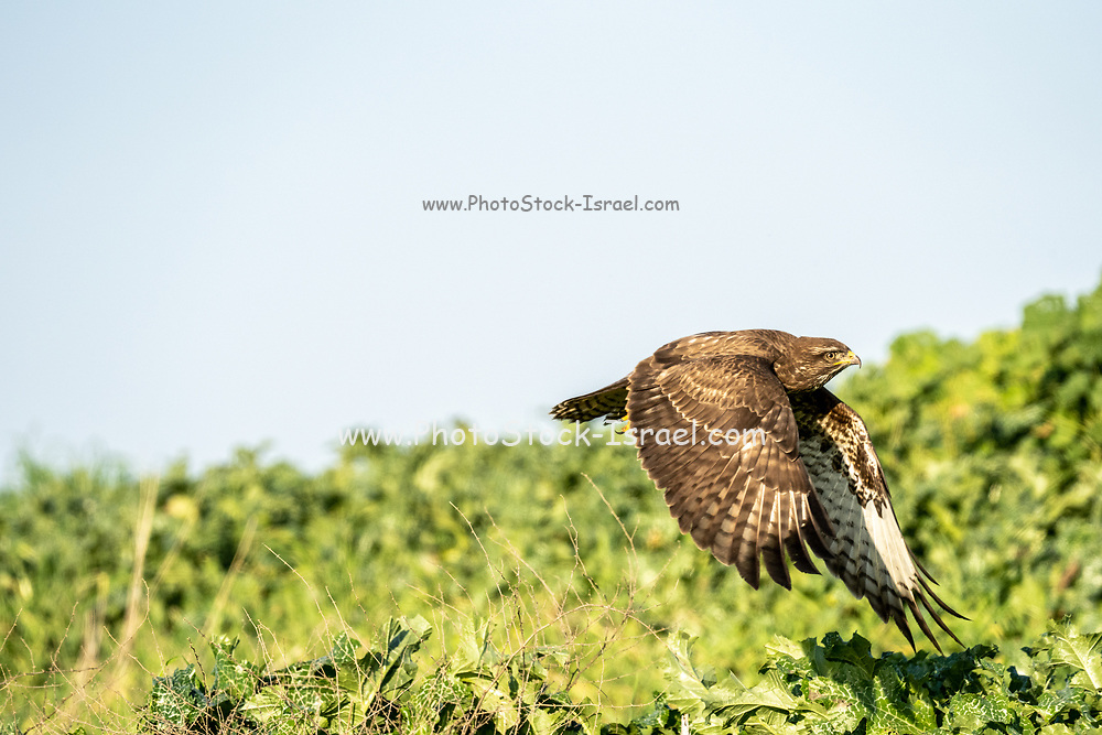 Common buzzard (Buteo buteo) in flight. This bird of prey is found throughout Europe and parts of Asia, inhabiting open areas, such as farmland and moors, and wooded hills. It grows up to 50 centimetres in length and feeds on small birds, mammals and carrion. Photographed in Israel in January.