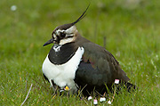 Lapwing, Vanellus vanellus, Elmley National Nature Reserve, UK, brooding young, grazing marsh, adult, young, spring,