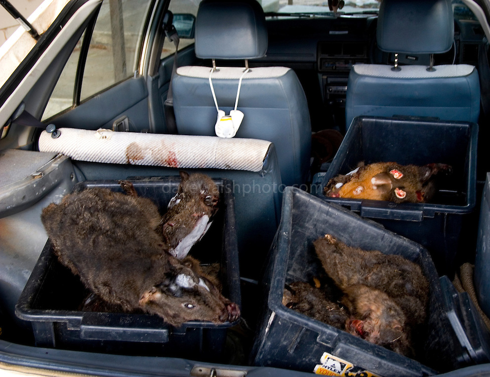 Collected Roadkill in scientist Christine Pukk's Car, to be fed to Tasmanian Devils. She has captive orphans, seperated from parents suffering from the Tasmanian Devil Facial Tumor Disease, which is a contagious cancer.