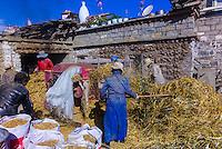 Farmers harvesting barley, Gonggar, Shannan Prefecture, Tibet (Xizang), China.