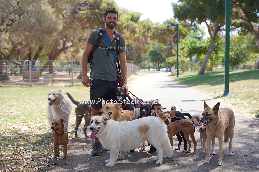 Dog walker walking a pack of dogs in the park