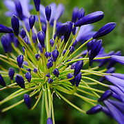 Lilly of the Nile agapanthus flower detail