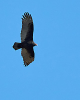 Turkey Vulture (Cathartes aura). Image taken with a Nikon D2xs camera and 80-400 mm VR lens.
