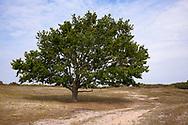 oak in the nature park Oranjezon near Vrouwenpolder on the peninsula Walcheren, Zeeland, Netherlands.<br /> <br /> Eiche im Naturpark Oranjezon bei Vrouwenpolder auf Walcheren, Zeeland, Niederlande.