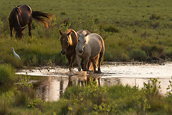 """The wild horses of Chincoteague, Virginia are a managed herd of horses which have been living free on the island since Colonial times.  Horses, like many animals, form friendships and tight bonds, as expressed here. """"Wild Horse Friends"""" of Chincoteague, Virginia is included in the Wickford Art Associations limited Edition: """"Poetry and Art 2019""""."""