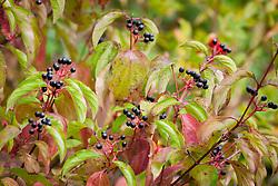 Dogwood berries. Cornus sanguinea