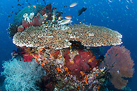 On a beautiful Table Coral, Fusiliers and other reef fish line up for a cleaning.<br /> <br /> Shot in Raja Ampat Marine Protected Area West Papua Province, Indonesia