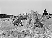 4259Wheat bundles being shocked by Werner Meier. July 17, 1939. Wheat bundles being shocked by Werner Meier on the 35 acre farm of Albert Meier, 3 miles west of Cedar Mills in Beaverton. July 17, 1939.