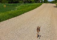 New born whitetail deer fawn on Sheyenne Scenic Byway near Fort Ransom, North Dakota, USA